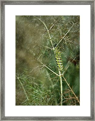 Black Swallowtail Butterfly Larva In Bronze Fennel Framed Print