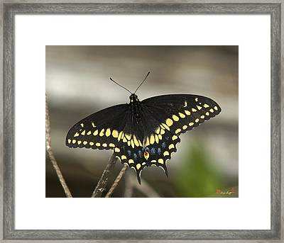 Black Swallowtail Din103 Framed Print