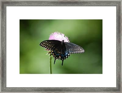 Black Swallowtail In Macro Framed Print