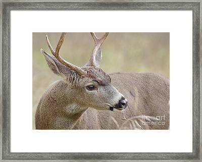 Framed Print featuring the photograph Black-tailed Deer by Doug Herr