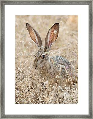 Framed Print featuring the photograph Black-tailed Hare by Doug Herr