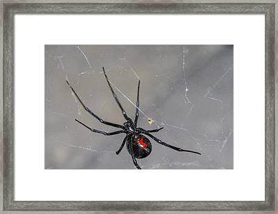 Black Widow Spider Framed Print