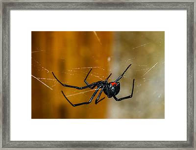 Black Widow Trap Framed Print by David Waldo