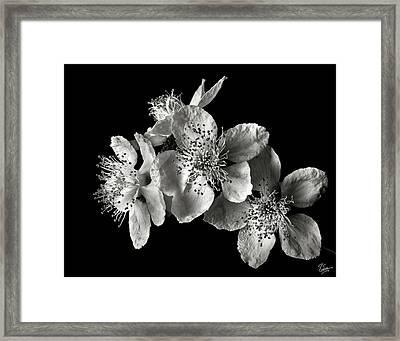 Blackberry Flowers In Black And White Framed Print