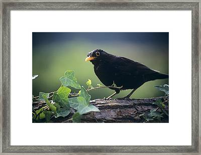 Blackbird Framed Print by David Aubrey