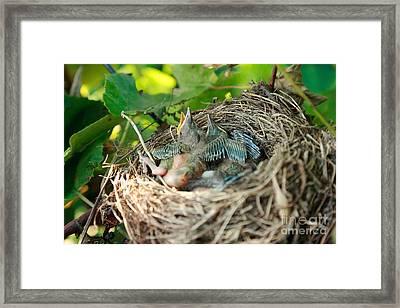 Blackbird Nest Framed Print