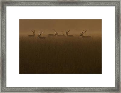Blackbucks At Sunrise Framed Print by Pramod Bansode