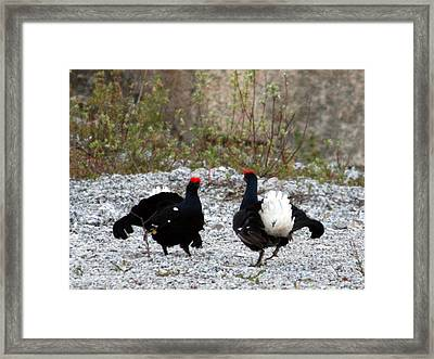 Blackcocks Framed Print by Holger Persson