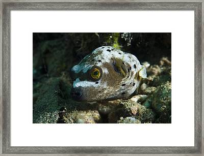 Blackspotted Puffer Framed Print by Matthew Oldfield