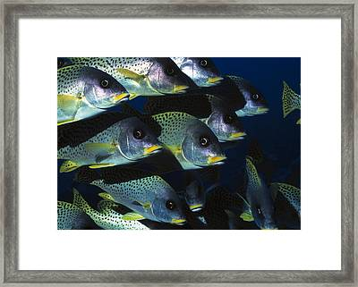 Blackspotted Rubberlip Fish Framed Print by Georgette Douwma