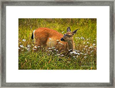 Blacktail Framed Print