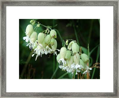 Bladder Campian And Ant Framed Print