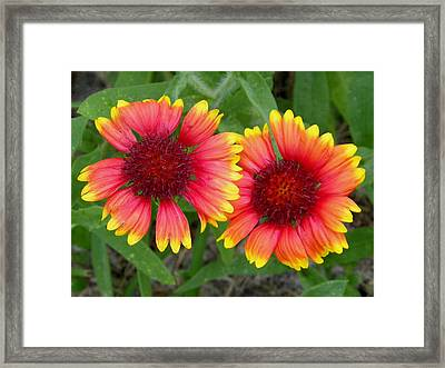 Blanket Flowers Framed Print by Judy Wanamaker