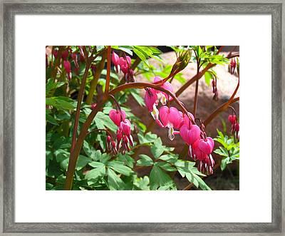 Bleeding Heart Framed Print by Christine Hafeman