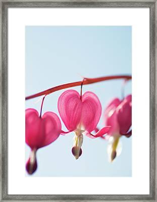 Bleeding Heart Flower Framed Print by Karin A photography