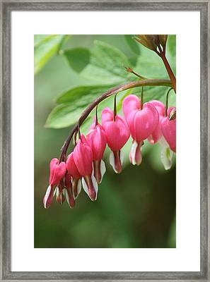 Framed Print featuring the photograph Bleeding Heart I by Peg Toliver
