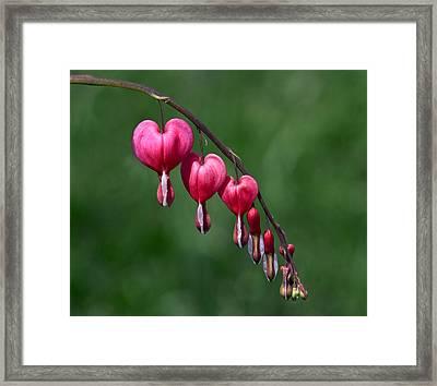 Bleeding Hearts 2 Framed Print by David Lester