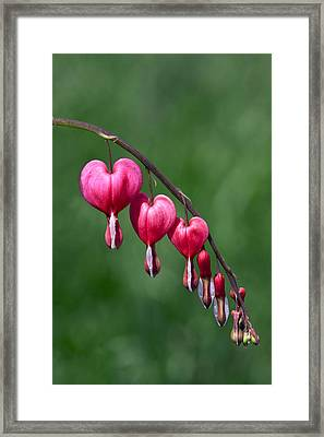 Framed Print featuring the photograph Bleeding Hearts by David Lester