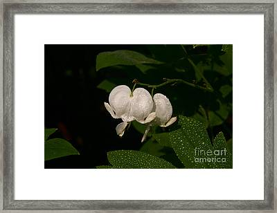 Framed Print featuring the photograph Bleeding Hearts by Joan McArthur