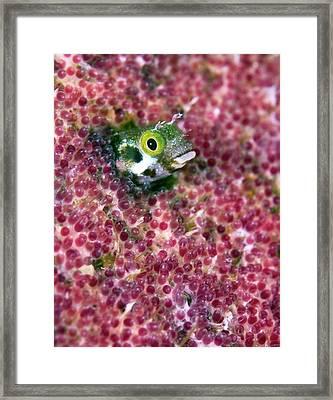 Blenny Fish Eggs Framed Print by Copyright Michael Gerber