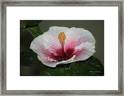 Blood Red Hibiscus  Framed Print
