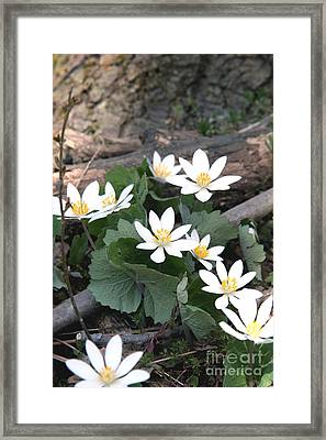 Bloodroot Framed Print by Ted Kinsman