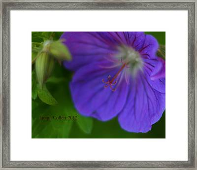 Bloom IIi Framed Print by Jacqui Collett