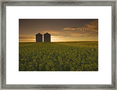 Bloom Stage Canola Field With Grain Framed Print by Dave Reede