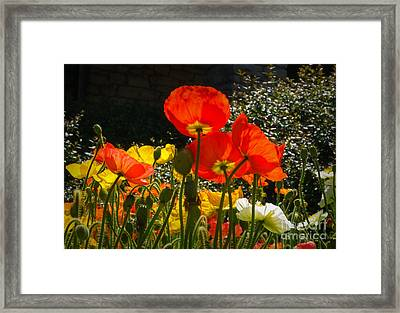 Bloomin Poppies Framed Print by Fred Lassmann