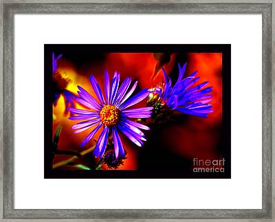 Blooming Asters Framed Print by Susanne Still