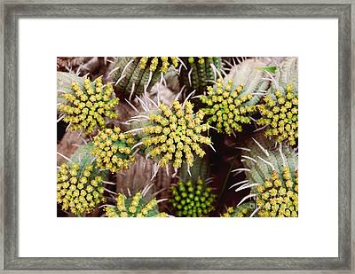 Framed Print featuring the photograph Blooming Cacti by Alexandra Jordankova