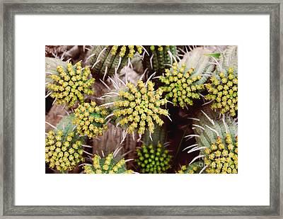 Blooming Cacti Framed Print by Alexandra Jordankova