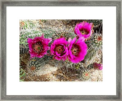 Framed Print featuring the photograph Blooming Cactus by Jo Sheehan