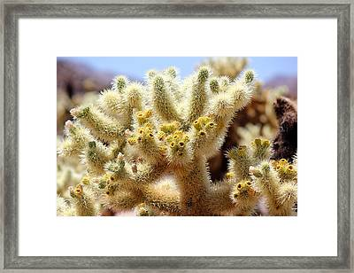 Blooming Cholla Framed Print