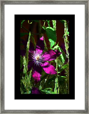 Framed Print featuring the photograph Blooming Clematis by Susanne Still