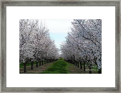 Blooming Orchard Framed Print