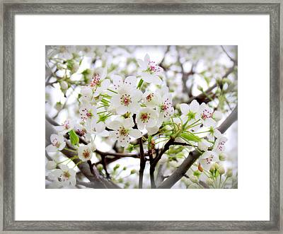 Framed Print featuring the photograph Blooming Ornamental Tree by Kay Novy