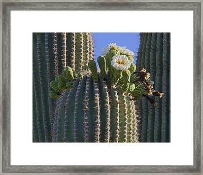 Blooming Saguaro   Sonora Desert Framed Print by Nathan Mccreery