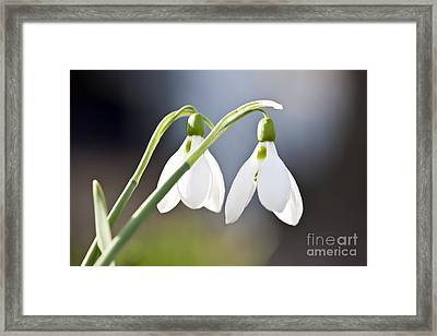 Blooming Snowdrops Framed Print