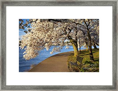 Blossoming Cherry Trees Framed Print by Brian Jannsen
