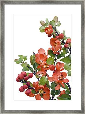 Framed Print featuring the photograph Blossoming Japanese Quince Chaenomeles by Aleksandr Volkov