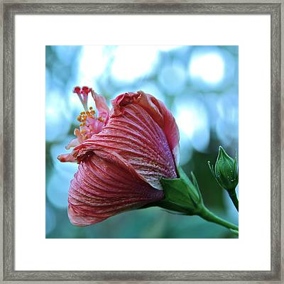 Blossoming Pink Hibiscus Flower Framed Print