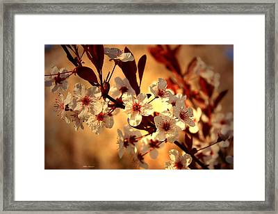 Blossoms 3 Framed Print by Mikki Cucuzzo