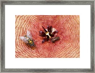 Blowflies On Stapelia Framed Print