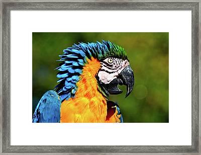 Blue And Gold Macaw Framed Print by Hermenau