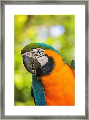 Blue And Gold Macaw Framed Print by Peter Ciro