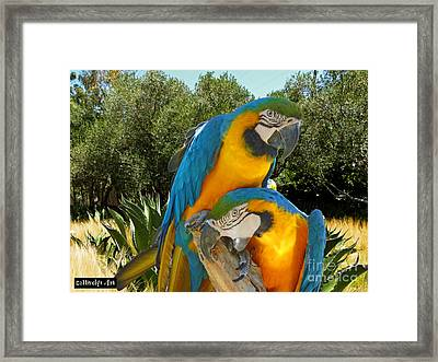 Blue And Gold Macaws Framed Print by Methune Hively