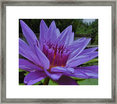 Blue And Purple Lotus Flower Framed Print