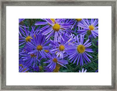 Blue Asters Framed Print