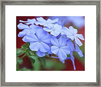 Blue Beauty Framed Print by Becky Lodes